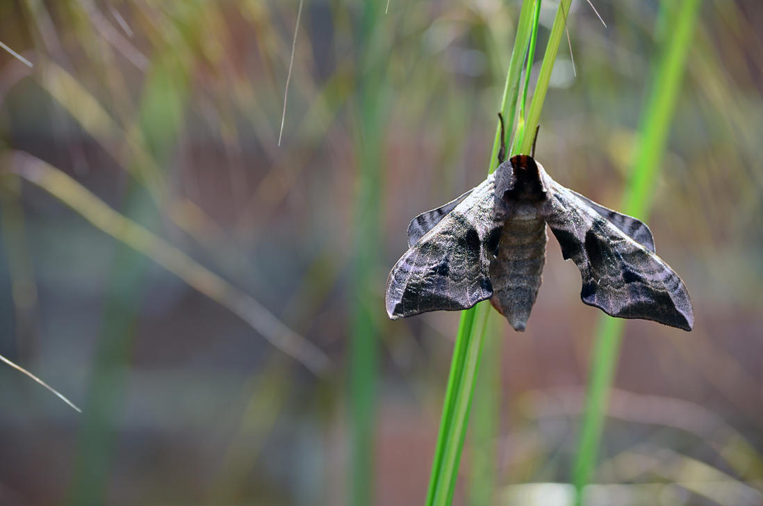 Lime Hawk Moth by Choccylover