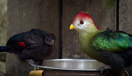Red-crested Touraco and chick by Choccylover