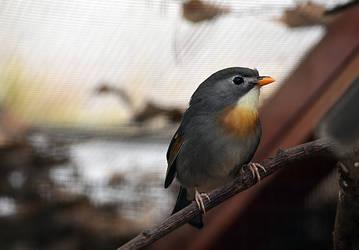 Pekin Robin by Choccylover
