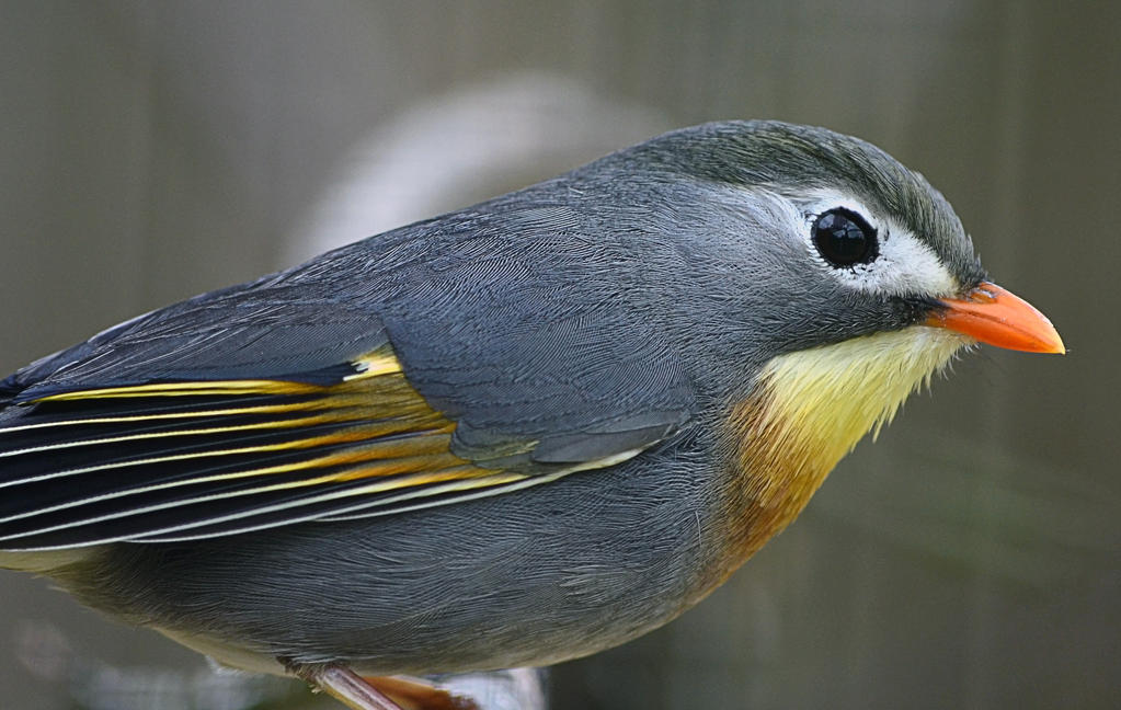Pekin Robin 2 by Choccylover
