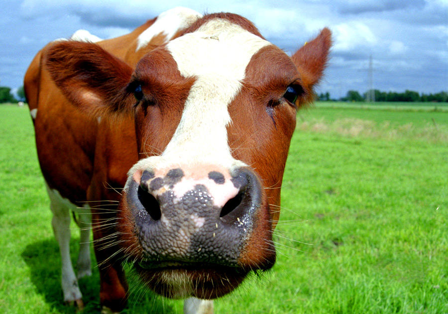 Friendly_Cow.jpg