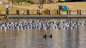 Water Fowl-2