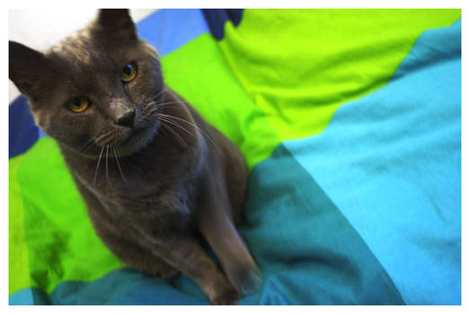 Grey Cat on Comforter