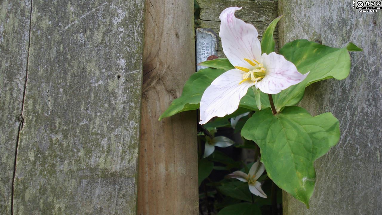 trillium blooms meet