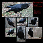 Common Raven Free Stock