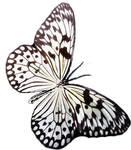 Butterfly 42-17619983