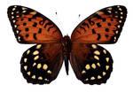 Butterfly BXP27791