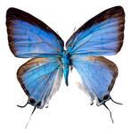 Butterfly BXP27797