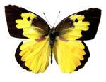 Butterfly BXP27801