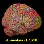 Human brain Brodmann blend