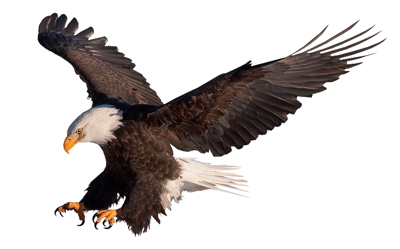 Bald Eagle 261 psd by xybutterfly on DeviantArt