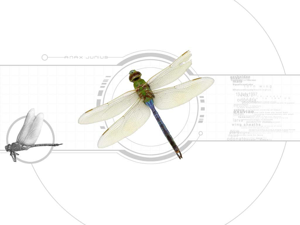 anax junius dragonfly 01 by pixelfish