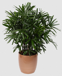 Palm Leaf 2 - Stock - Png