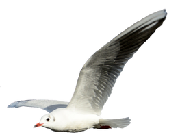 Seagull 3 Clear Cut by AStoKo