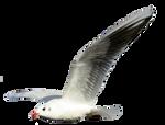 Seagull 3 Clear Cut