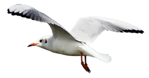 Seagull 2 Clear Cut by AStoKo
