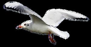 Seagull 2 Clear Cut