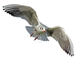Seagull 4 Clear Cut by AStoKo