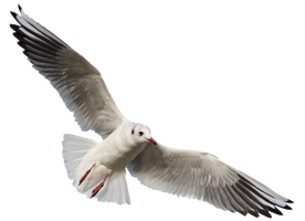 Seagull 11 Clear Cut by AStoKo