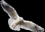Seagull 11 Clear Cut