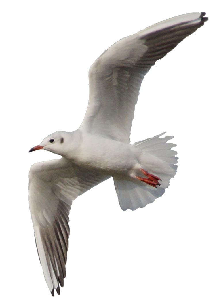 Seagull 10 Clear Cut by AStoKo