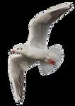 Seagull 10 Clear Cut