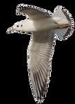 Seagull 8 Clear Cut