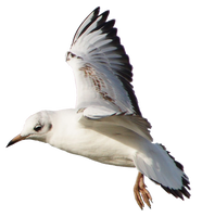 Seagull 12 clear cut by AStoKo