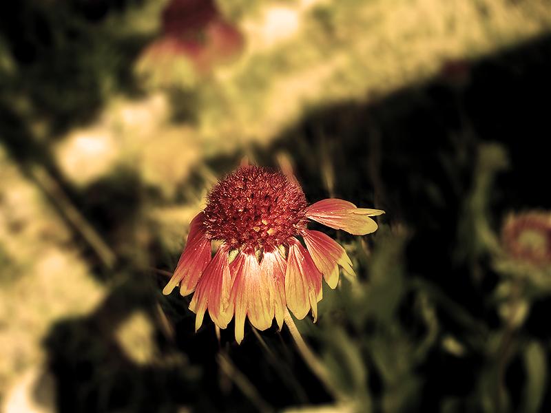 Petals of Gold by salmanarif