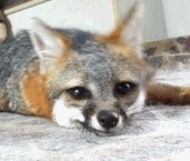 FOX - DO A BARREL ROLL -anim-