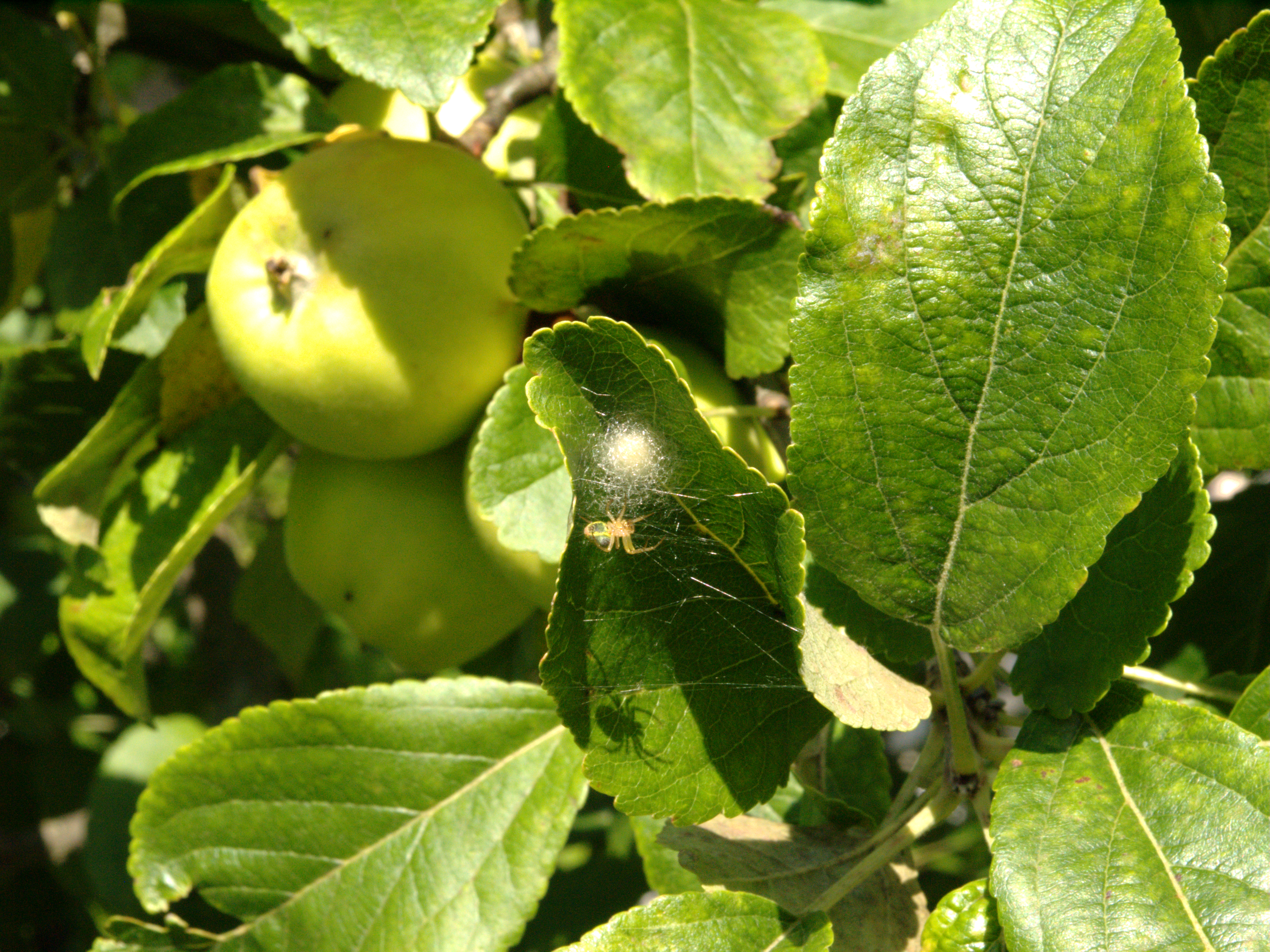 momma spider and the apple tree by catsndogs on momma spider and the apple tree by catsndogs