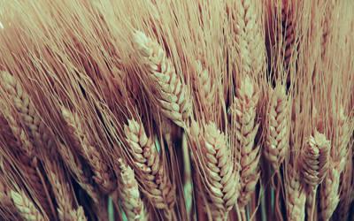 .wheat