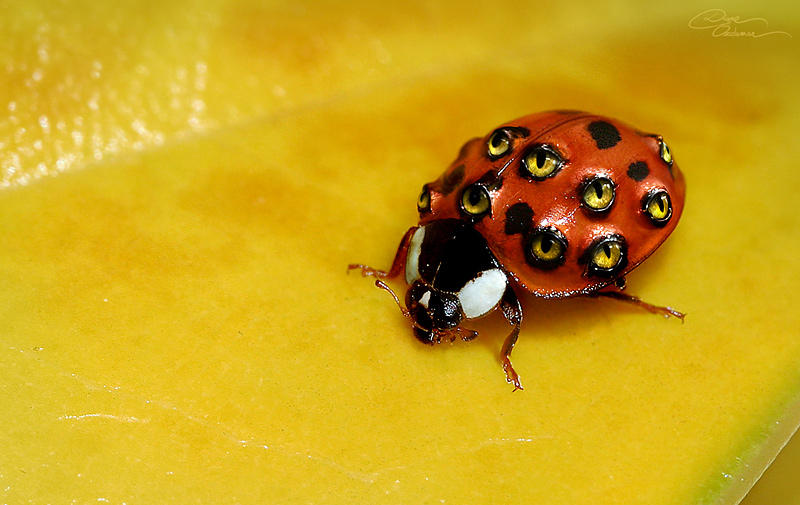 Pictures Of The Largest Ladybug 100