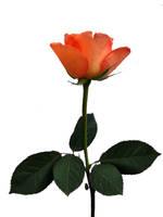 peach rose by GRANNYSATTICSTOCK