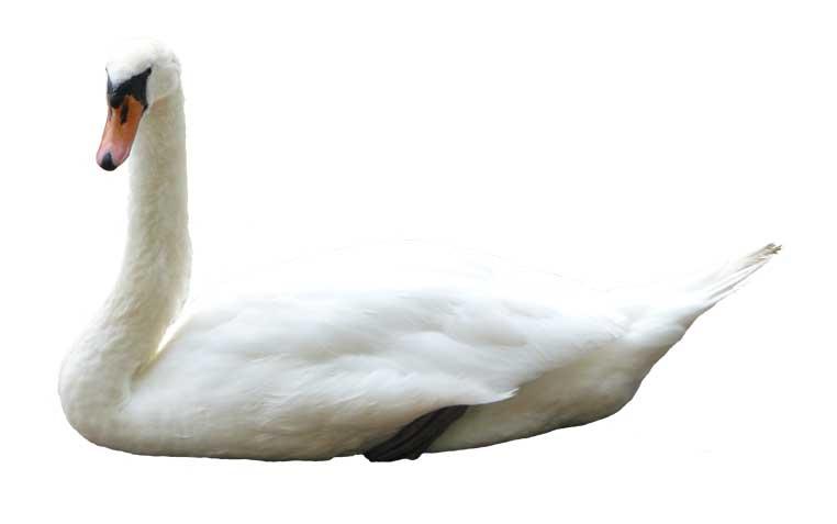Sitting Swan psd