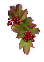 Berries psd by GRANNYSATTICSTOCK