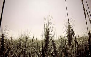 wheatfield by Benijamino