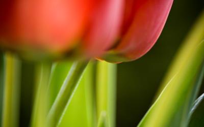 tulip by Benijamino