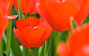 tulips by Benijamino
