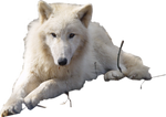 pre-cut arctic wolf - stock