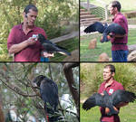 Red-tailed Black Cockatoo Pack