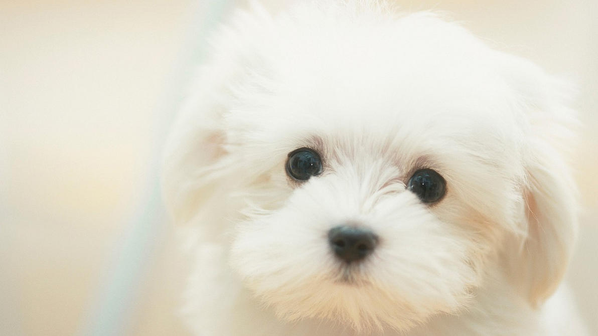 Cute White Pupp... Cute