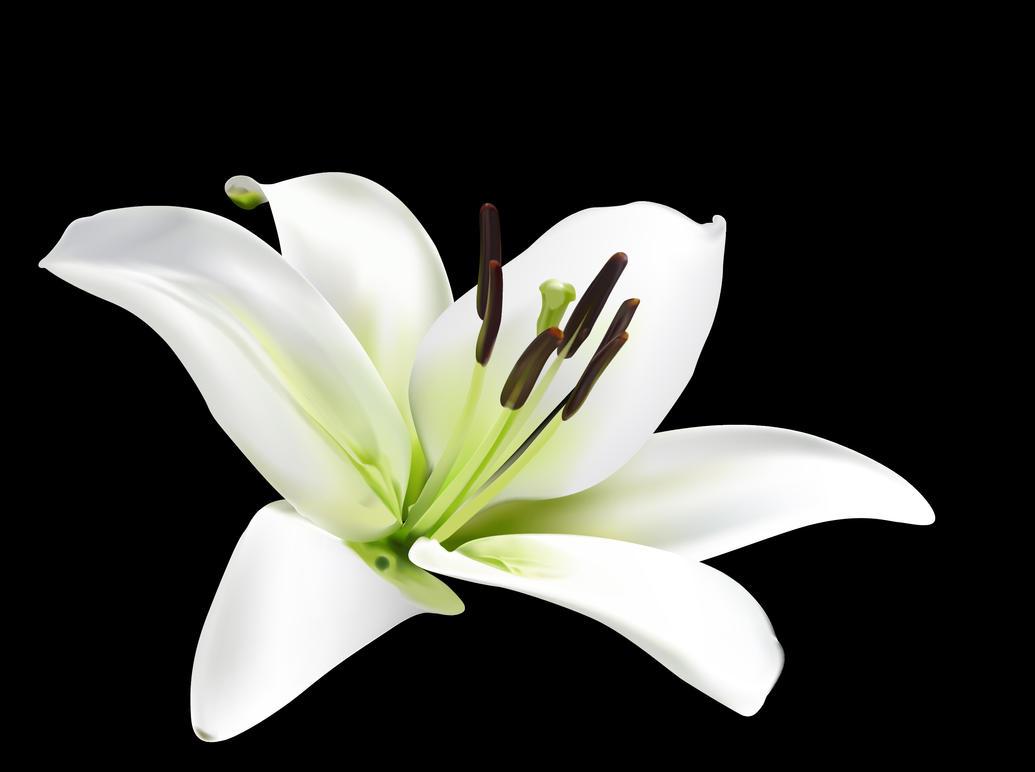 Vector lily flower by Vinczzt on DeviantArt