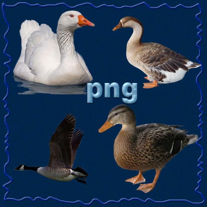 ducks, geese