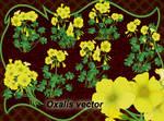 Oxalis vector