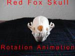 Adult Red Fox Skull Rotation