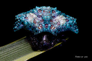 Animation UV Bird Dung Spider (Pasilobus sp.)