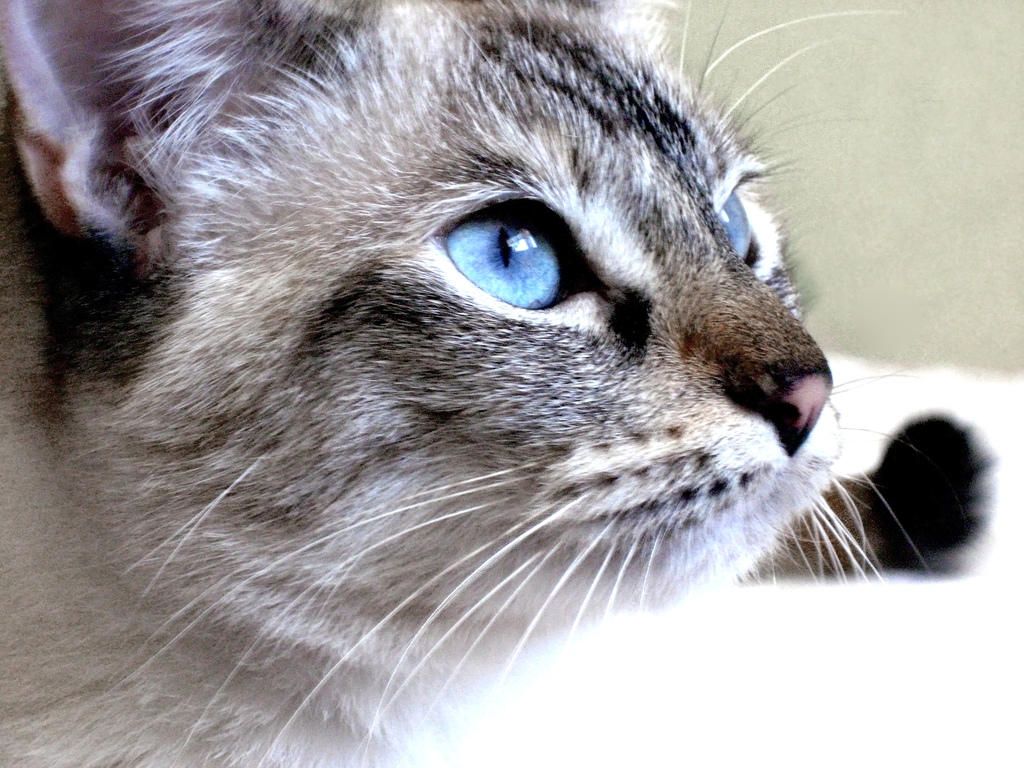 Grey Tabby Cat With Blue Eyes | www.imgkid.com - The Image ...