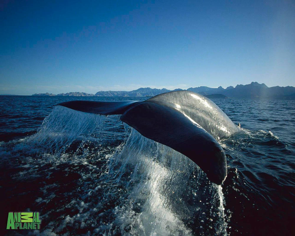 blue whale pictures - 1200×710