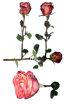 Roses Png 8 By Starscoldnight